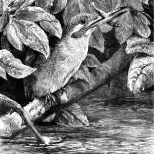 1878 The Kingfisher by Harrison Weir