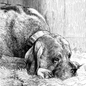 1873 The Mastiff, by Harrison Weir