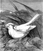 1878 The White Sparrow, by Harrison Weir