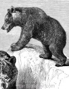 Detail: The Brown Bear, by Harrison Weir