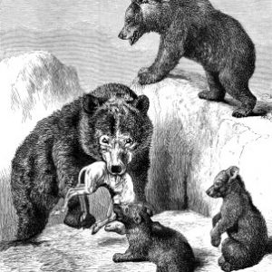 1874 The Brown Bear, by Harrison Weir