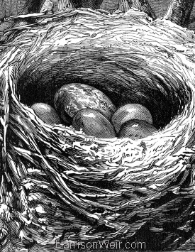 Detail: The Cuckoos egg in the Hedge-Sparrow's nest, by H.Weir