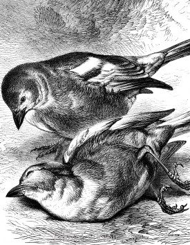 Detail: The Dead Chaffinch, by Harrison Weir