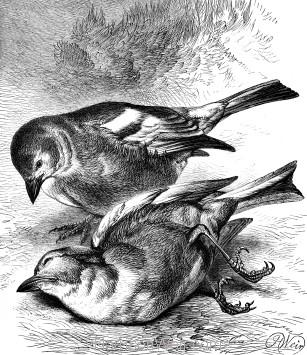 1878 The Dead Chaffinch, by Harrison Weir