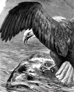 Detail: The Erne, or Sea-Eagle, by Harrison Weir
