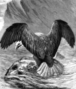 1878 The Erne, or Sea-Eagle, by Harrison Weir