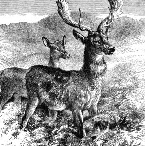 1878 The Fallow-Deer by Harrison Weir