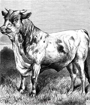 1878 The Fly and the Bull, by Harrison Weir