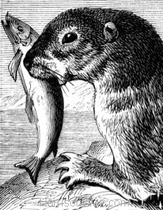 Detail: The Otter, by Harrison Weir
