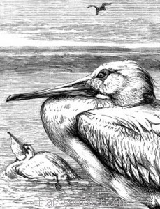 Detail: The Pelican, by Harrison Weir