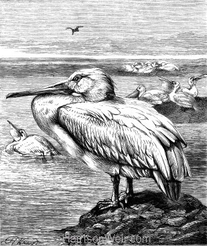 1878 The Pelican, by Harrison Weir