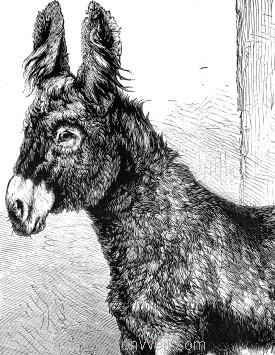 Detail: The Poitou Donkey. by Harrison Weir