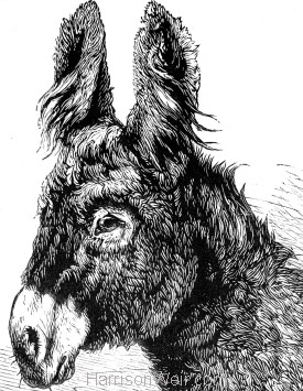 Detail: The Poitou Donkey, by Harrison Weir