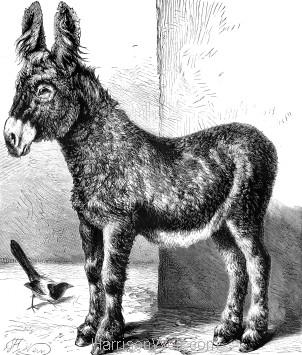 1874 The Poitou Donkey, by Harrison Weir