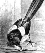 1873 The Robber Magpie, by Harrison Weir