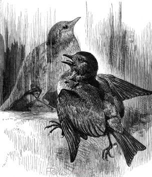 1878 The Robin, by Harrison Weir