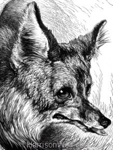 Detail: The Sly Old Fox, by Harrison Weir