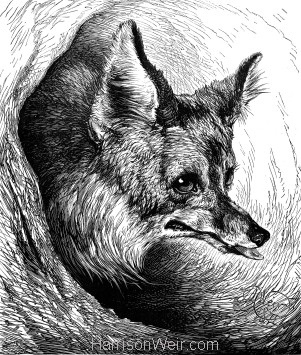 1872 The Sly Old Fox, by Harrison Weir