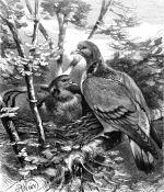 1878 The Stock-Doves, by Harrison Weir