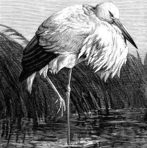 1878 The Stork, by Harrison Weir