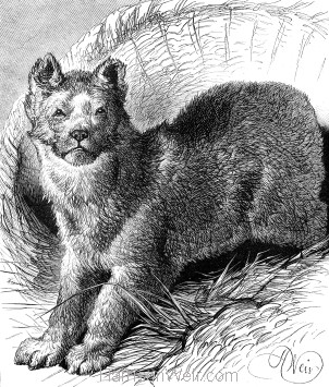 1878 The Student's Bear, by Harrison Weir