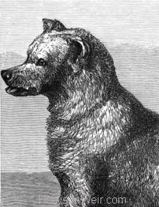 Detail: The Syrian Bear, by Harrison Weir