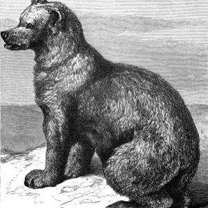 1878 The Syrian Bear, by Harrison Weir