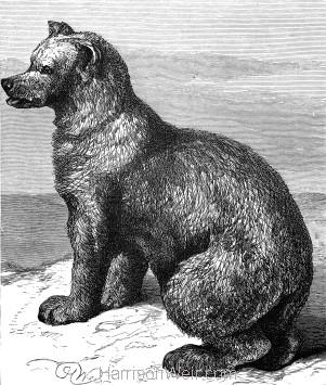 1878 The Syrian Bear, by Harrison Weir