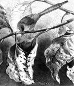 1878 The Tailor-Bird, by Harrison Weir