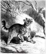 1876 The Wild Cat by Harrison Weir