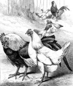 1873 The Wounded Cock by Harrison Weir