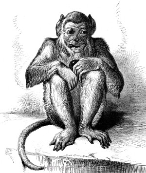 1878 The Young Monkey, by Harrison Weir