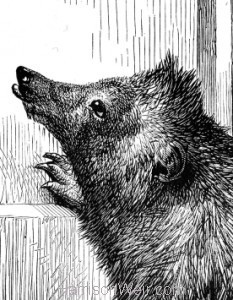 Detail: Timothy,our pet Hedgehog. by Harrison Weir