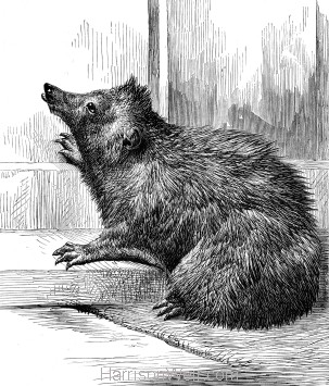 1878 Timothy, our pet Hedgehog by Harrison Weir