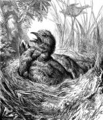 1878 Young Cuckoo in Titlark's nest, by Harrison Weir