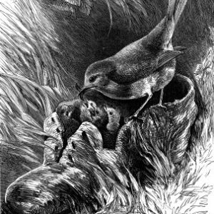 1878 A Robin's Nest in a Shoe, by Harrison Weir