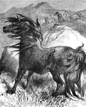 1878 Shetland Pony by Harrison Weir