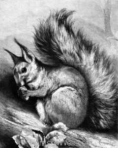 Full Image: 1879 -The Squirrel by Harrison Weir