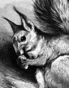 Detail: 1879 The Squirrel by Harrison Weir