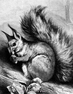 1879 The Squirrel by Harrison Weir