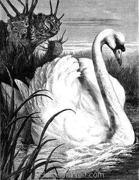 1879 The Swan by Harrison Weir