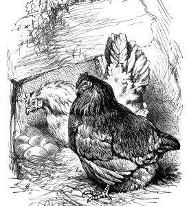 1870 Pink shows Donwy her nest, by Harrison Weir