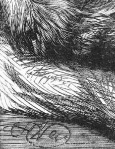 Detail: Signature in Plate 1880 Angora Cat by Harrison Weir