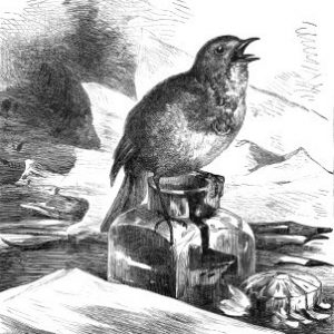 1882 Robin perched on the Ink-stand by Harrison Weir