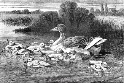 1882 The Duck Family by Harrison Weir