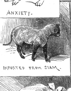 Detail: Am Import from Siam 1883 Crystal Palace Cat Show