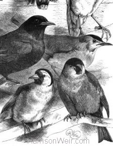Detail: 1884 A Collection of Birds by Harrison Weir