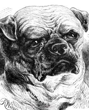 1884 The Pug Dog