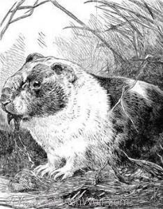 1886 The Guinea Pig