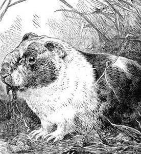 1886 The Guinea Pig